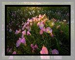Kwiaty, Różowy, Wiesiołek, Oenothera rosea, Łąka
