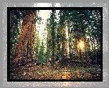 Las, Drzewa, Sekwoja, Promienie słońca, Park Narodowy Sekwoi, Kalifornia, Stany Zjednoczone