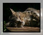 Kot, Bury, Leżący