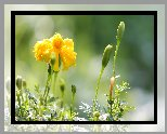 Kwiat, Żółta, Aksamitka, Pąki