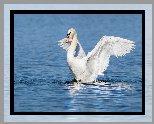 Biały, Ptak, Łabędź, Rozpostarte, Skrzydła, Woda