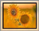 Dwa, Kwiaty, Żółte, Słoneczniki