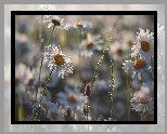 Kwiaty, Zroszone, Rumianki, Rozmycie