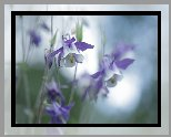 Biało-fioletowe, Orliki, Kwiaty
