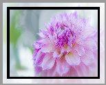 Kwiat, Różowa, Dalia, Zbliżenie