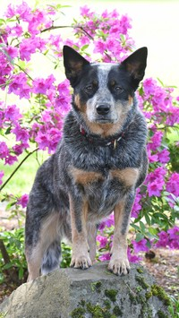 Australian cattle dog na kamieniu