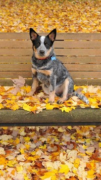 Australian cattle dog na ławce