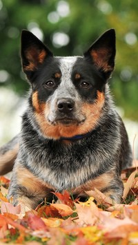 Australian cattle dog w liściach