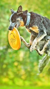 Australian cattle dog z frisbee