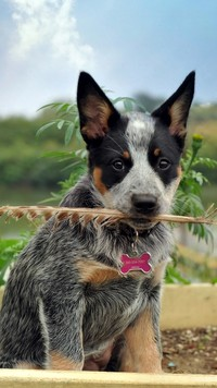 Australian cattle dog z piórem