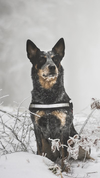 Australian cattle dog zimową porą