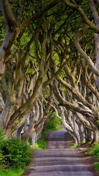 Bukowa aleja Dark Hedges