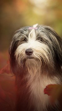 Kudłaty bearded collie