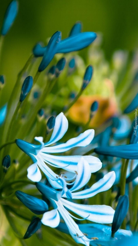 Agapant afrykański niebieski