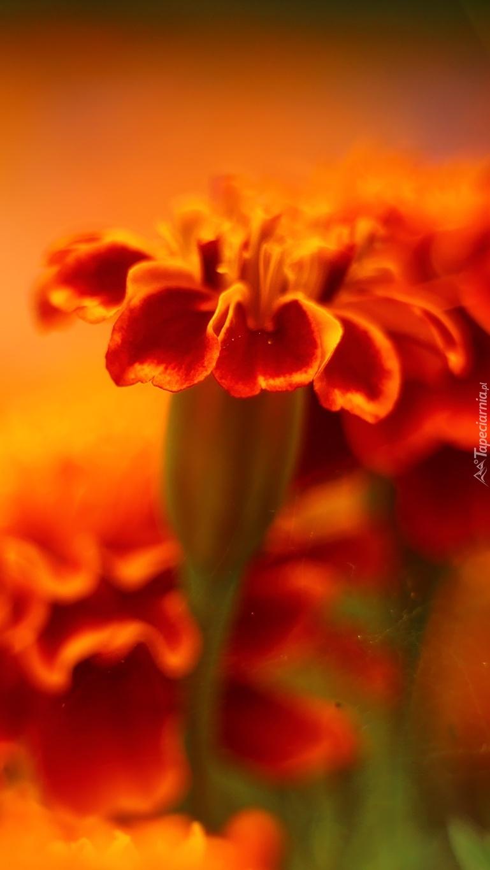 Aksamitny kwiat