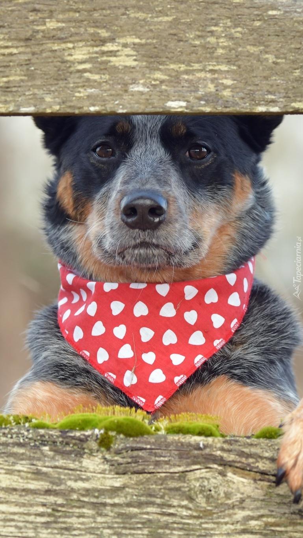 Australian Cattle Dog z chustką