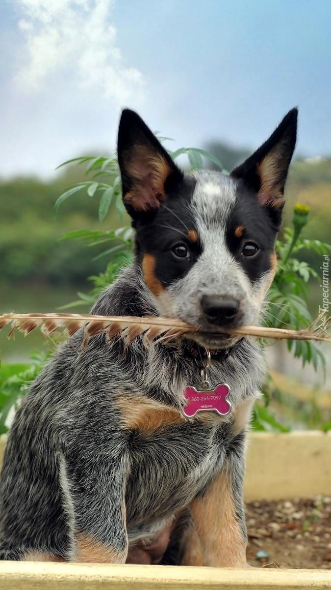 Australian cattle dog z piórem