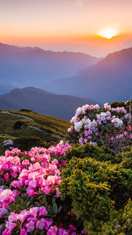 Azalie na wzgórzach