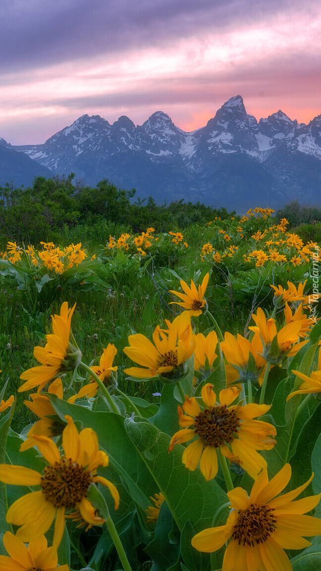 Balsamorhizy i góry Teton Range