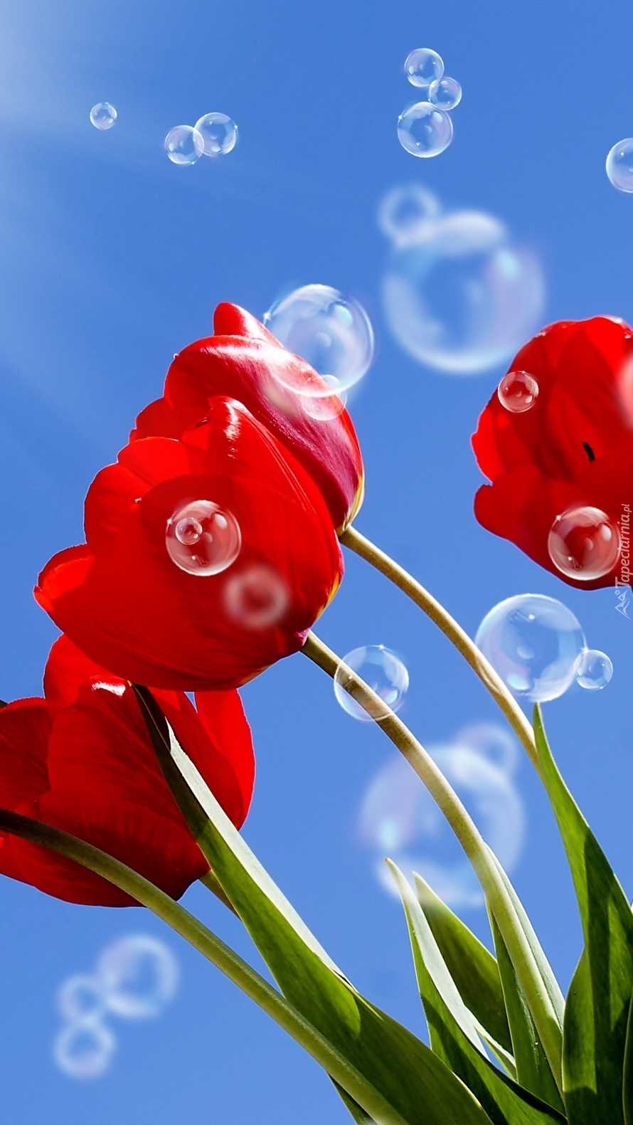 Bańki na niebie i czerwone tulipany