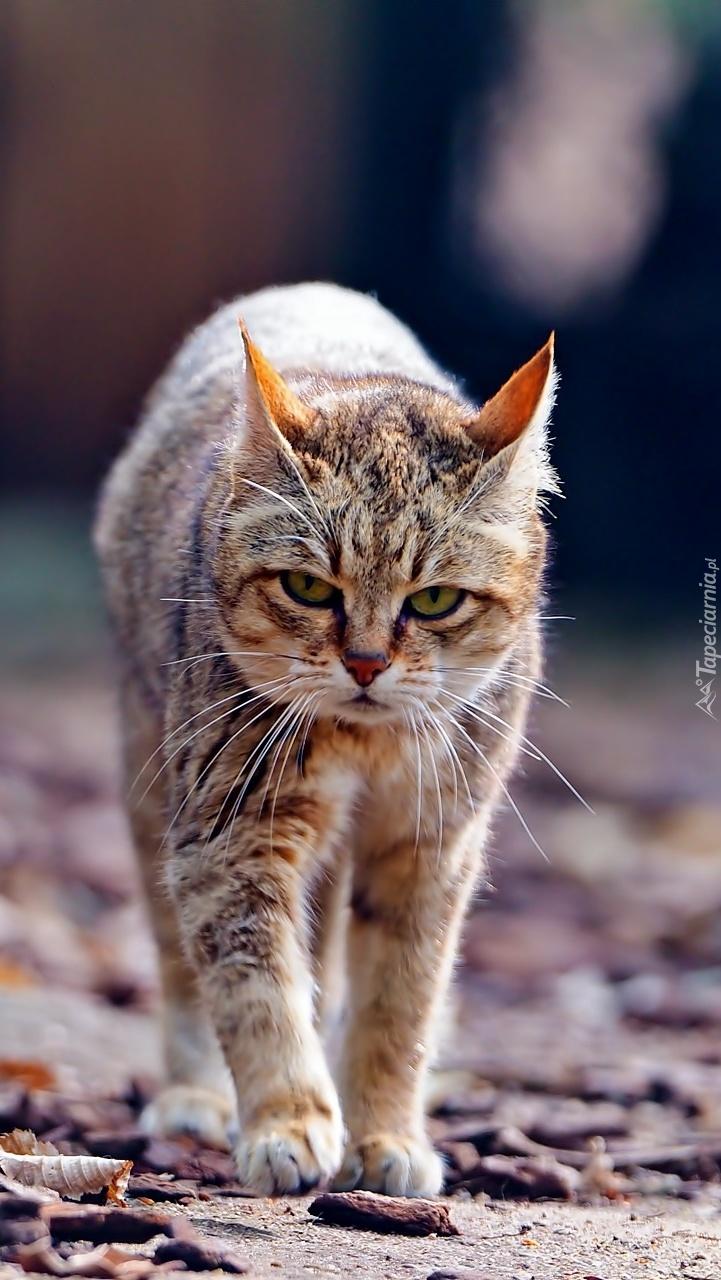 Bardzo Niezadowolony Kot Tapeta Na Telefon