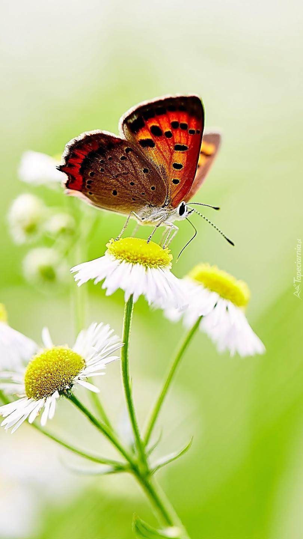 Barwny motyl na przymiotnie