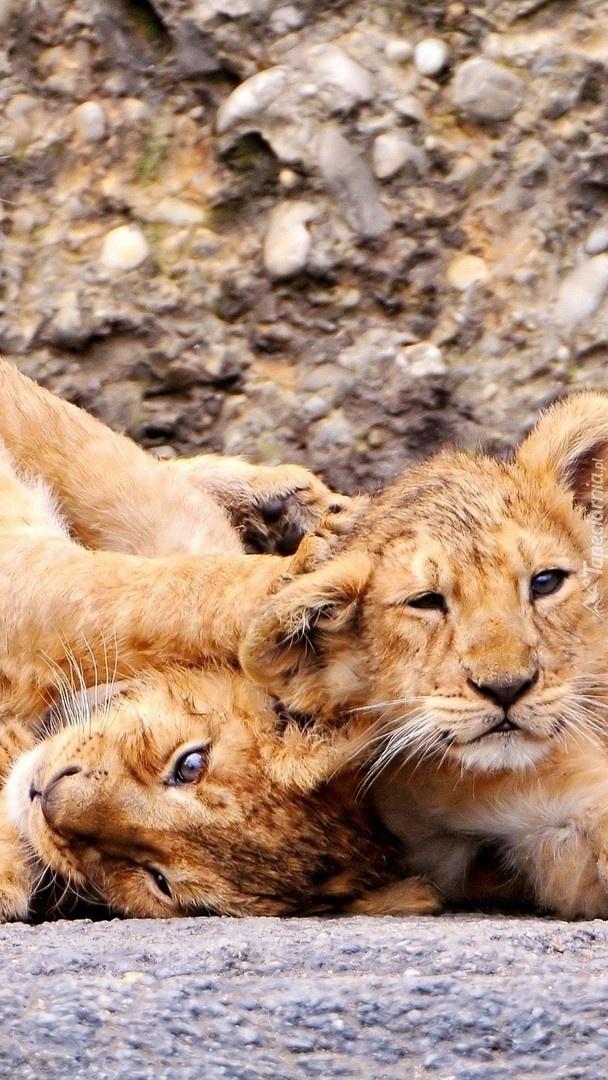 Bawiące się lwiątka