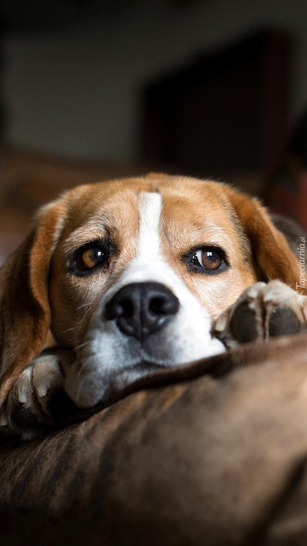 Beagle na poduszce