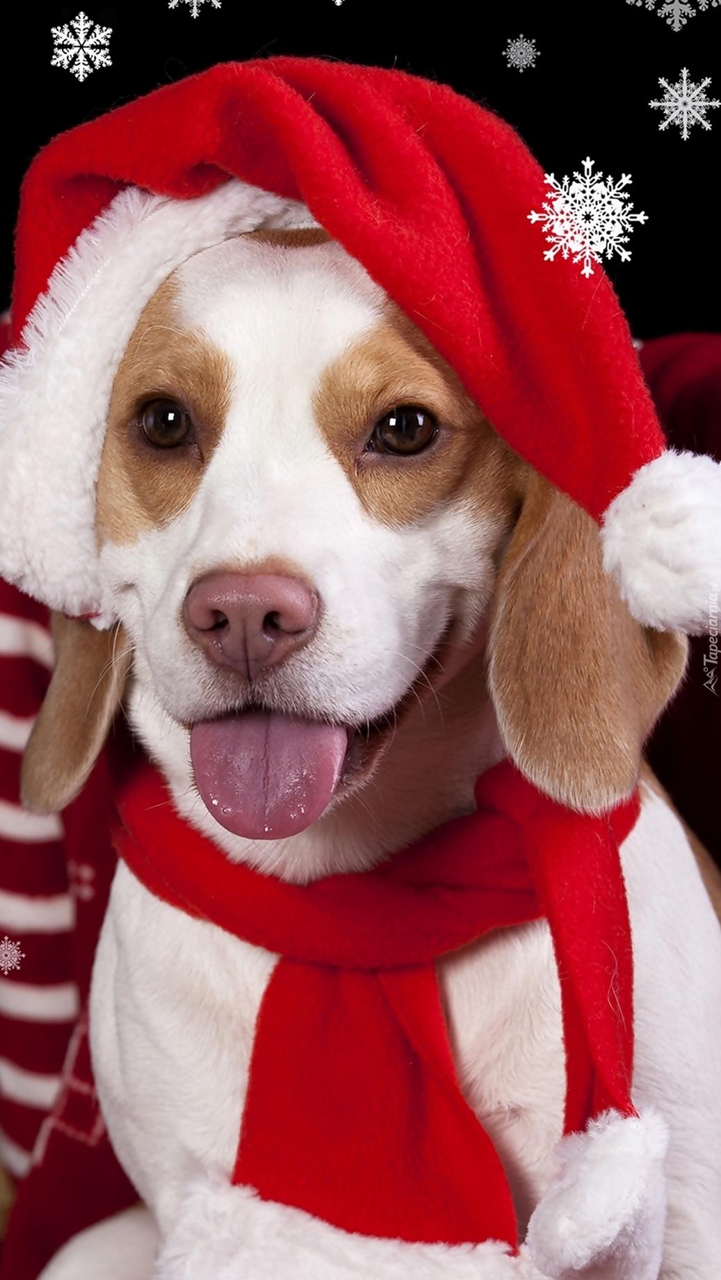 Beagle w czapce Mikołaja