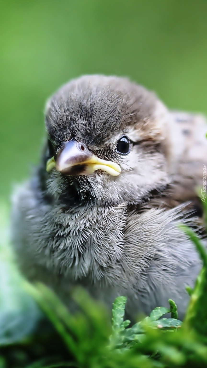 Bezbronny mały ptaszek o bystrych oczkach