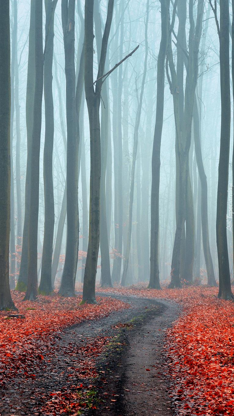 Bezlistne wysokie drzewa we mgle