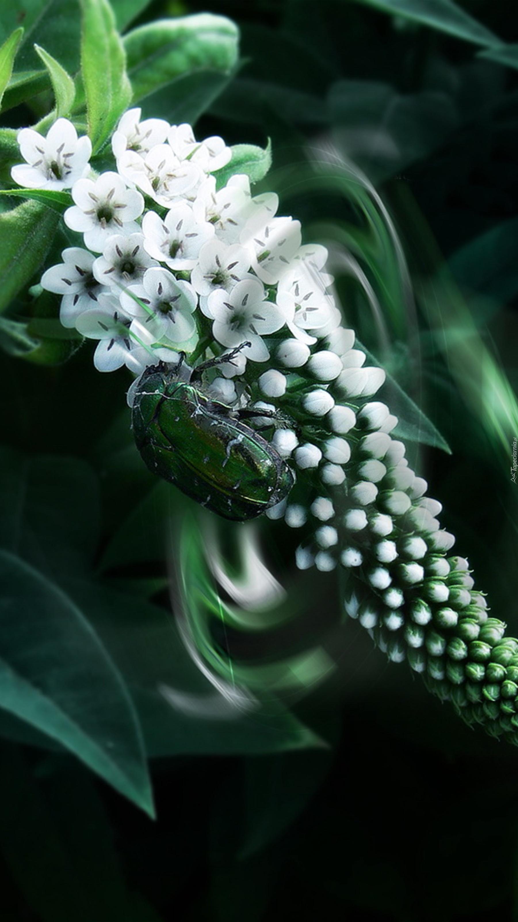 Biała budleja Dawida z chrząszczem