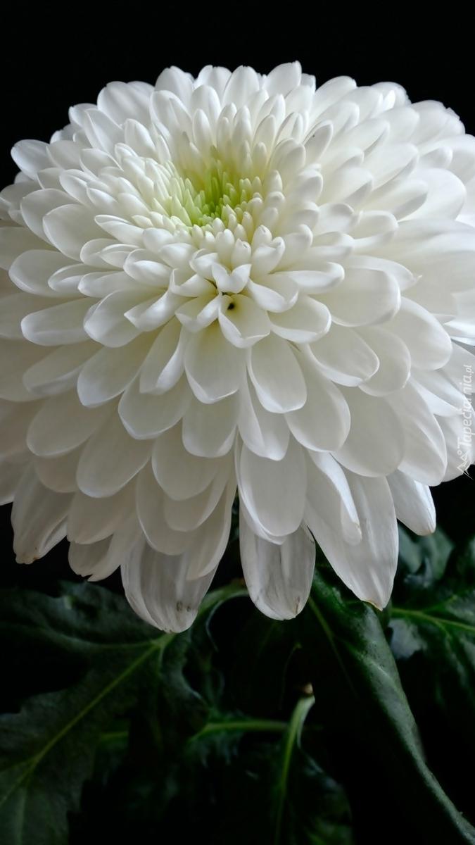 Biała chryzantema