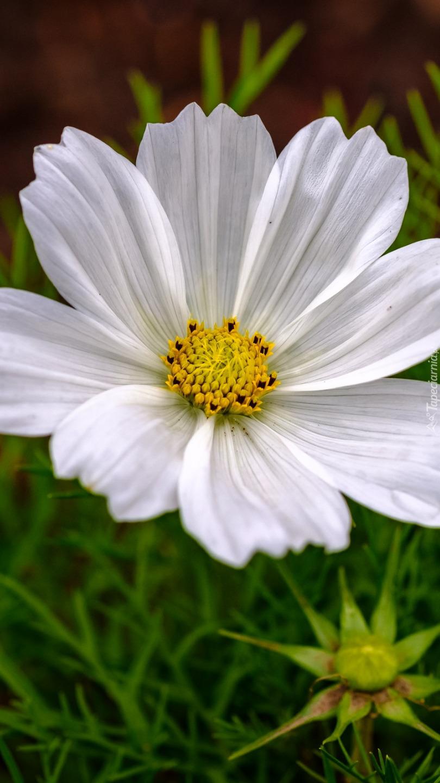 Biała kosmea