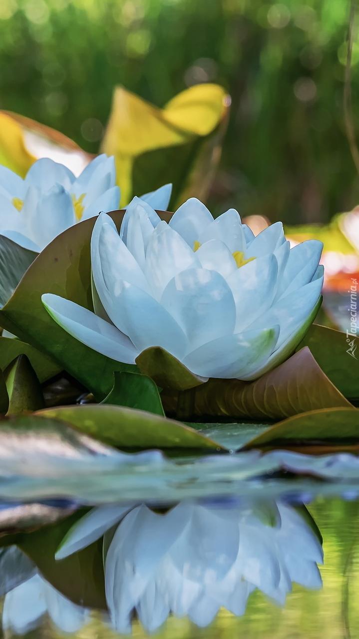 Biała lilia wodna