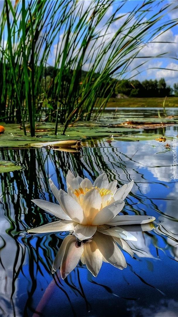 Biała lilia wodna na jeziorze