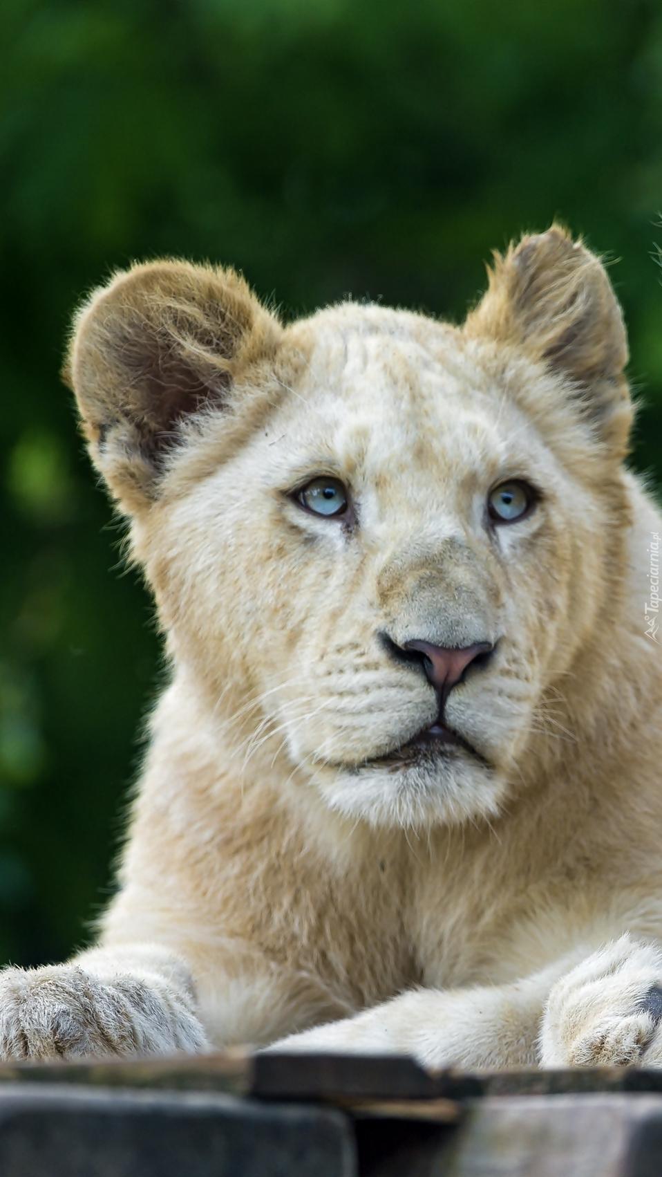 Biała lwica