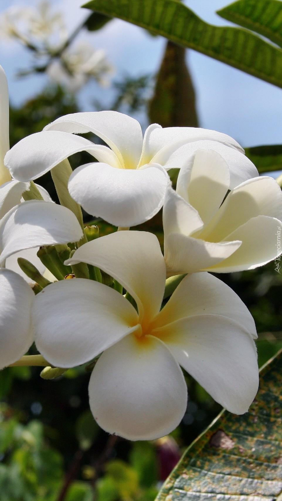Biała plumeria