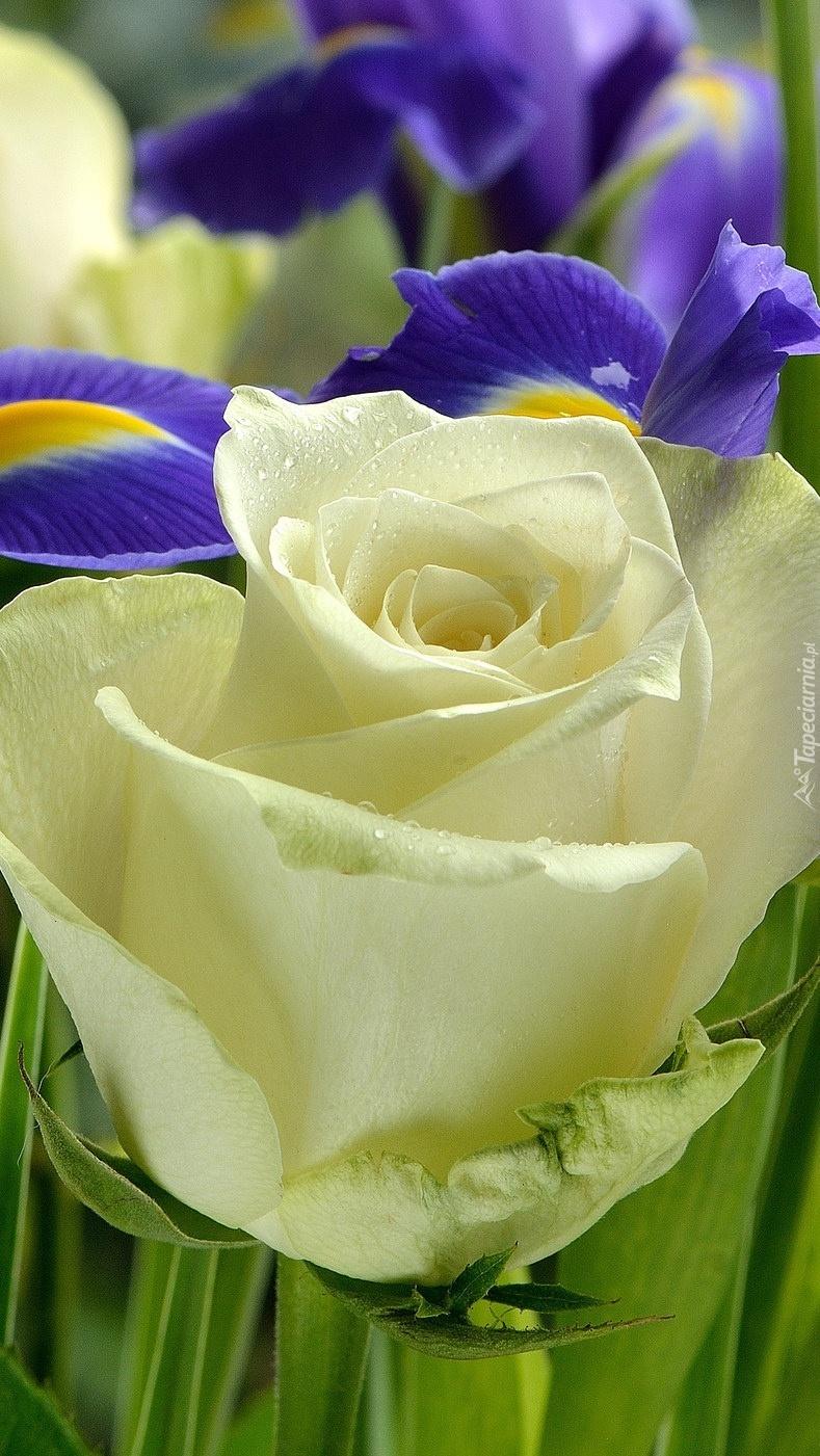Biała róża z fioletowymi irysami