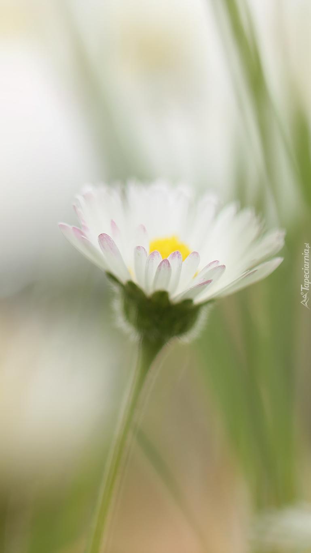 Biała stokrotka
