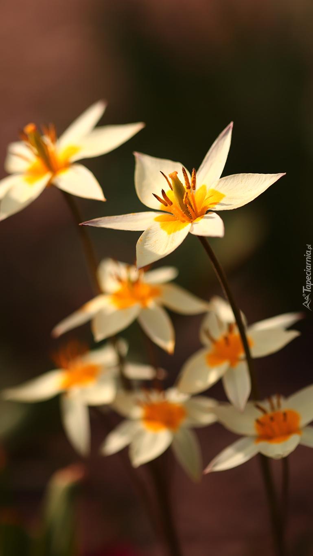 Białe dzikie tulipany