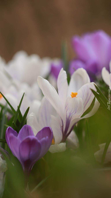 Białe i fioletowe krokusy