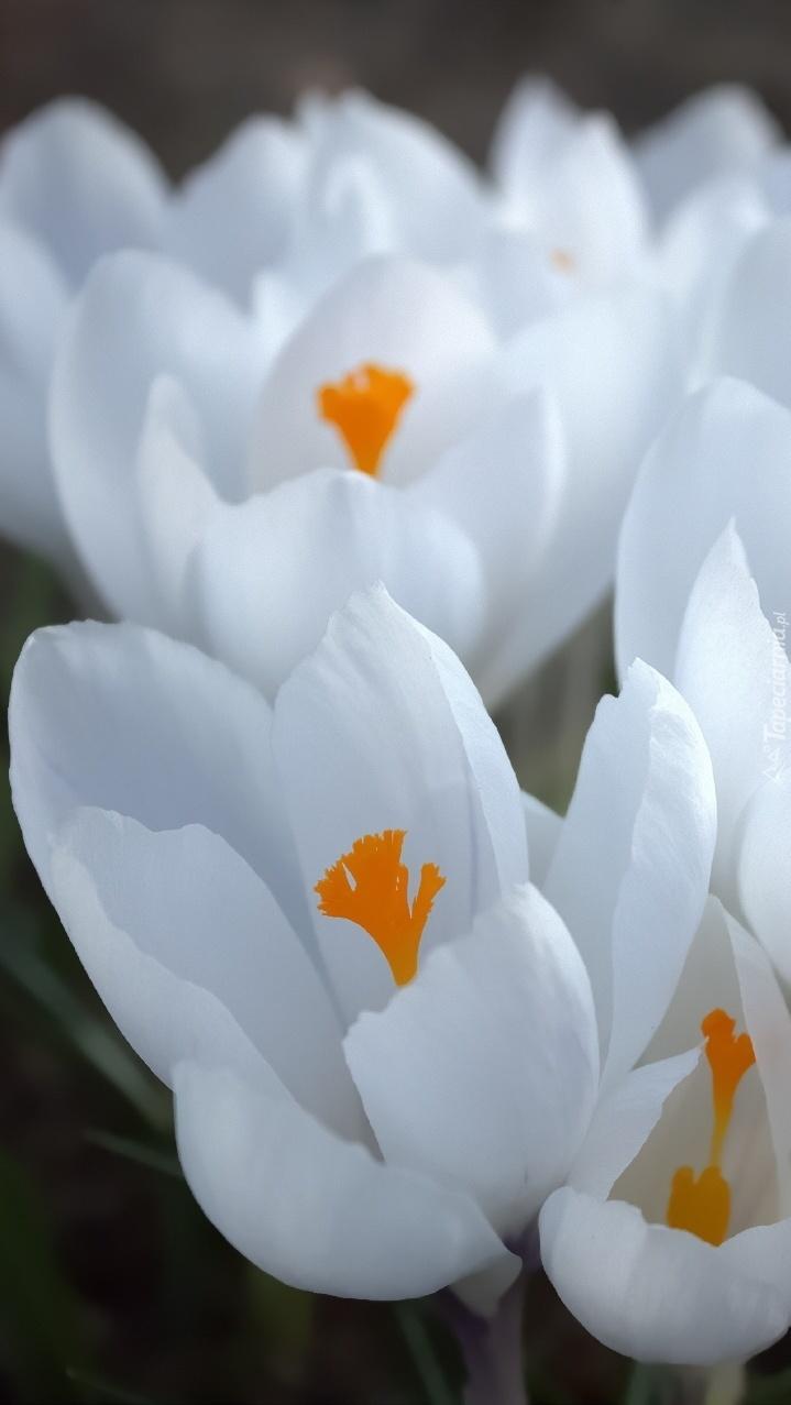 Białe krokusy