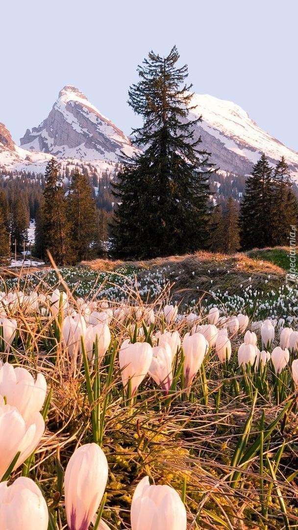 Biale krokusy i góry w tle