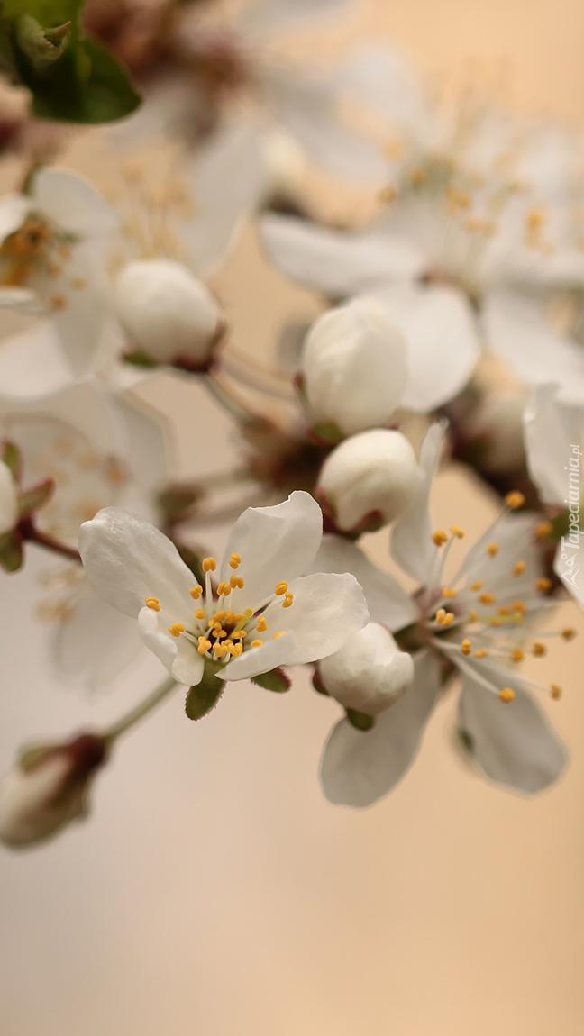Białe kwiatki z pręcikami na gałązce