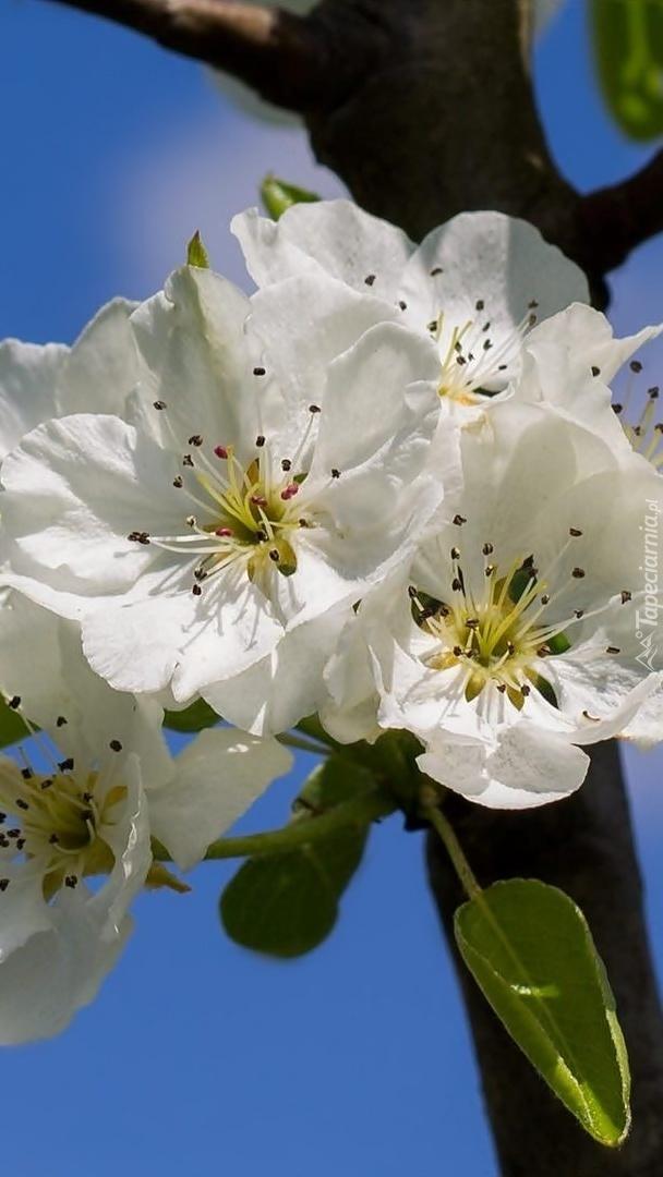 Białe kwiaty drzewa owocowego