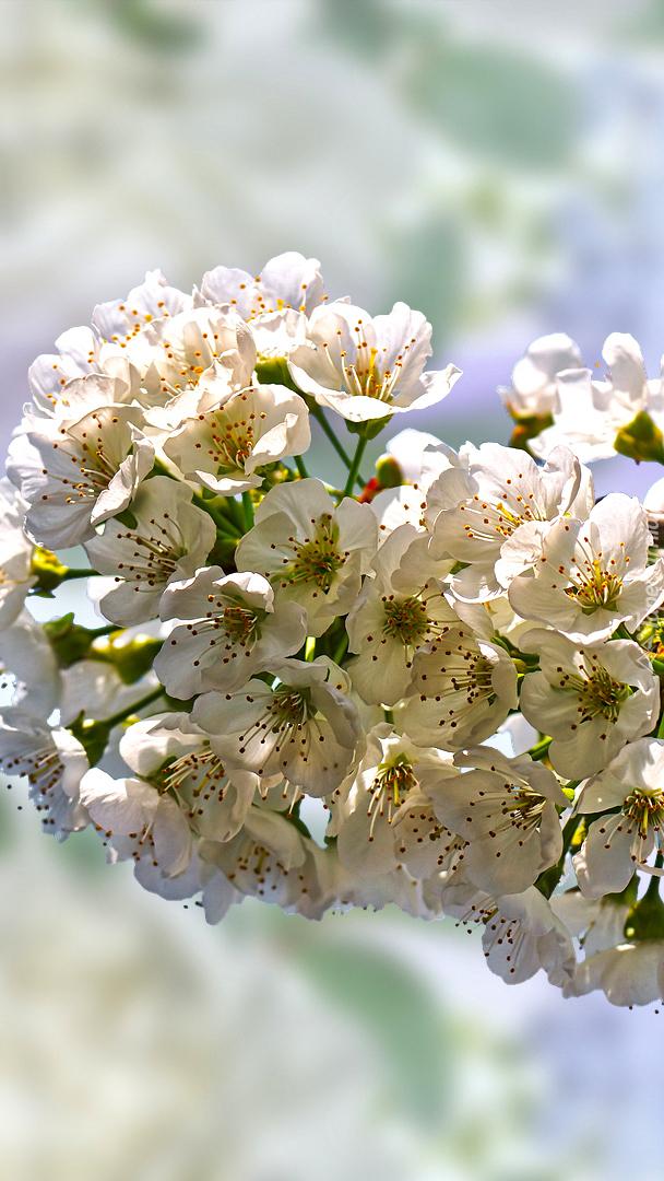Białe kwiaty drzewa owocowego w 2D