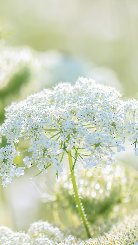 Białe kwiaty dzikiej marchwi