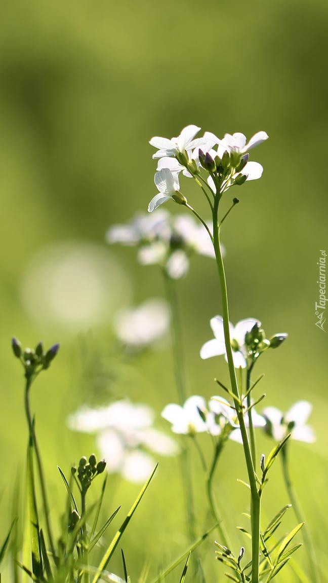 Białe kwiaty gęsiówki piaskowej