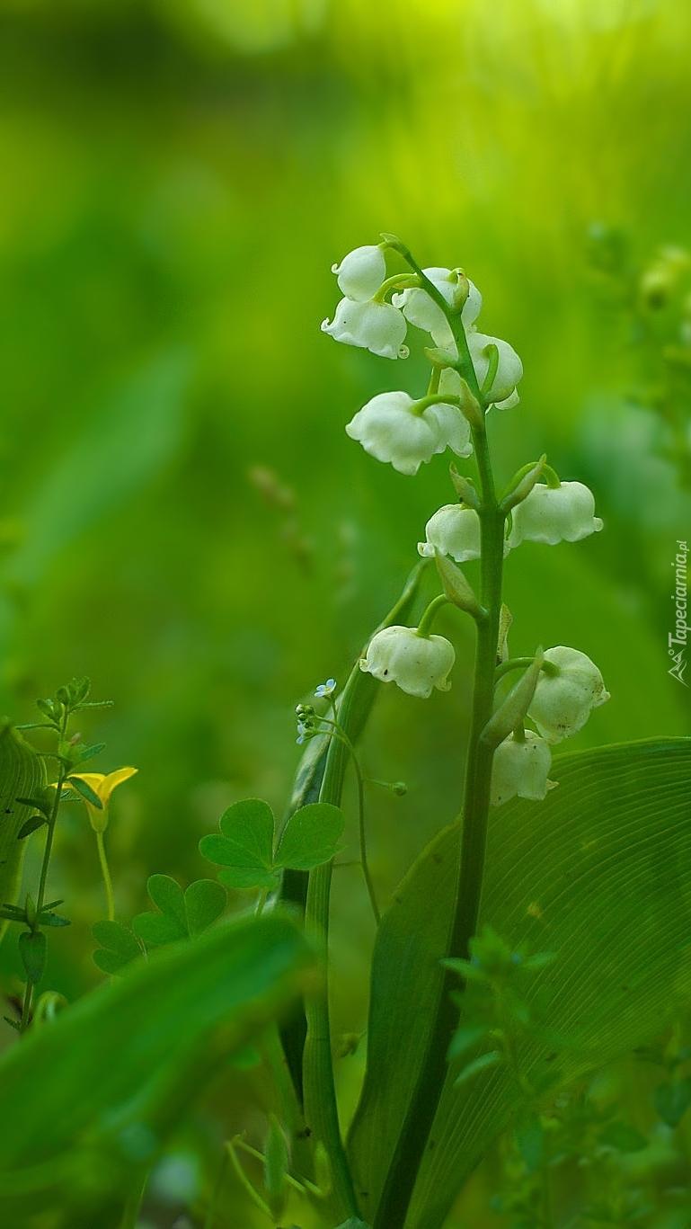 Białe kwiaty konwalii wśród zielonych liści